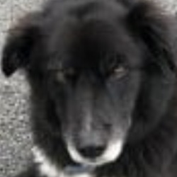 Lost dog on 21 Feb 2021 in TIPPERARY. LOST..164531 StatusLost Registered16 Feb 2021 NameTRIXIE Gender & BreedFemale Collie Cross (Neutered) AgeAdult ColourBlack and White Marks & ScarsTrixie has two steel knees but you can only see this if xrayed. TaggedNo MicrochippedYes TattooedUnknown Date Lost23 Dec 2020 Where LostTickincor woods in Clonmel Co.Tipperary Ireland Lost In RegionSouthern Ireland Lost In Post AreaEIRE  SHIRLEY'S CATS + DOGS REHOMING PAGE