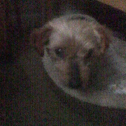 Lost dog on 21 Jan 2010 in Kellystown, Dublin. 'Madra' - small friendly dog with tan head and black back. Elderly and nearly deaf. Missing from Kellystown area, Dublin 16 since 21st January 2010.