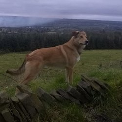 Lost dog on 21 Mar 2018 in Upper Coolbawn, Castlecomer, Co Kilkenny. Male intact Collie Mix. Tall, Tan & White. 4 years old. Friendly & trained. Last seen with neighbors German Shepard & small Terrier. Ohter 2 dogs returned, Alphy still missing