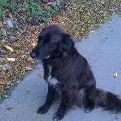 Lost dog on 21 Nov 2009 in Near Delgany CO WW. Black collie. Female. 5yrs. white on chest and paw. Had red collar on her, with phone no. Medium size