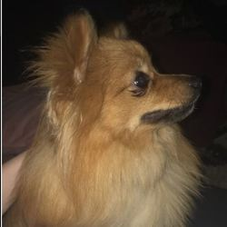 Lost dog on 21 Nov 2019 in Kerry. Small female Pomerarian- thick red coat and fluffy tail missing from Castleisland Kerry-please call 0879581963