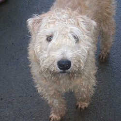 Reunited dog 22 Feb 2010 in Balbriggan, Co Dublin. Our Wheaten Terrier Sandy was returned a week after he went missing. We can all sleep at night now that he's home safe. Thank God there's still some honest people out there.. Male Wheaten Terrier missing from Pinewood in Balbriggan on Sun 21st Feb. Missed greatly by our family.