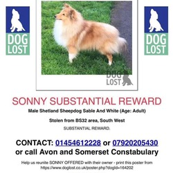 Lost dog on 22 Feb 2021 in Bristol. Stolen from the UK - Shetland Sheepdog (sheltie).  reward for safe return