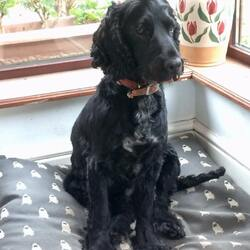 Lost dog on 22 May 2021 in Last seen Roseberry Newbridge. Dog (black cocker spaniel), white on chest. 3 years old, male, not neutered, microchipped. Lost