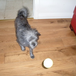Lost dog on 22 Oct 2009 in Kildare town. Small grey male dog lost in the Green Road area of Kildare town on 22/10/09. Is quite nervous and wary of strangers. Is part shi tzu and has very distinctive protruding teeth. Please contact Andrew on 085 1629757 if found/seen