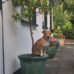 Lost dog on 22 Sep 2017 in Kilkenny/waterford. 5 year old, male, jack Russell named bongo. No collar. Went missing from his garden near belview port