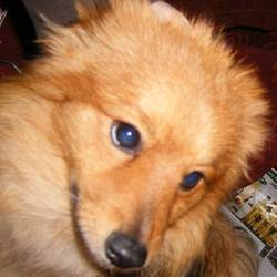 Lost dog on 23 Dec 2009 in Portmarnock. Pomeranian,aged 18mths. Colour orange,tan and some black with cream coloured tail. Very friendly.