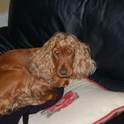 Lost dog on 23 Jan 2010 in Rostellan, Midleton, Cork. Cocker Spaniel, reddish coat. Red collar. Female, 4 years old, neutered. Very friendly.