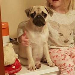 Lost dog on 23 Jan 2018 in Parklands, Northwood, Santry, Dublin 9. 6 month old, male Pug puppy.