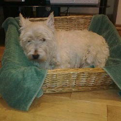 Lost dog on 23 Jun 2010 in Wexford. Male West Highland Terrier found by us on June 23 and he subsequently left of his own accord on June 26 in Wexford area. Seems like an old dog, very quiet and moved slowly. Would like to find him