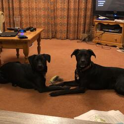 Lost dog on 23 Jun 2020 in Swallowfield. 2 Black dogs lost in Swallowfield area near the ford. Will come to call, although hesitant. Chipped and names tags- Kenny and Zorba