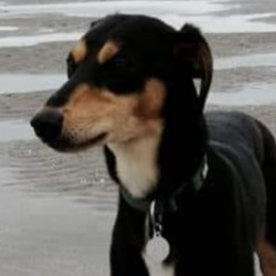Reunited dog 23 Mar 2020 in celbridge. UPDATE REUNITED...lost...Celbridge/Leixlip friends please share