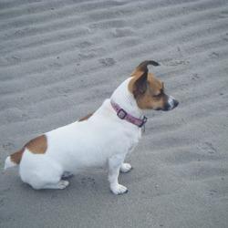 Lost dog on 23 Nov 2009 in Galway. Miniture Jack Russell,4 years old. Lost Kilcolgan area, Galway.