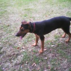 Lost dog on 23 Nov 2019 in Offaly/Meath border. 1 and a half year old Doberman/German shepherd Cross taken from house Saturday 23rd of November. Dog is chipped and much loved family pet.   Edenderry Co. Offaly area...