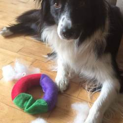 Reunited dog 23 Oct 2018 in Rochestown Avenue Dun Laoghaire. Female Border Collie 4 years old, Microchipped Black & White. Suffers from severe anxiety.