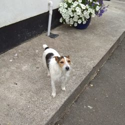 Lost dog on 24 Aug 2018 in Kilcornan Limerick. Dog missing in Kilcornan/Curraghchase area. He is a Jack Russell Terrier and answers to Jack. Has been missing since 5:00pm Friday, if anyone sees him please contact me on Facebook or by phone on 0874145089.