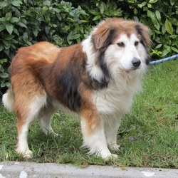 Lost dog on 28 Feb 2021 in Ballinasloe. **Found this morning. Home now safe and sound.**  Lost collie yesterday 24/02/21 on Shannonbridge Road, Ballinasloe. Last seen  around 11am. Tricolour, wearing blue collar, distinctive shaved area on his back. Approx. 9 y/o. Extremely timid. Microchipped.