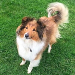 Lost dog on 24 Jun 2019 in Corduff, Lusk . Sadie is a shetland sheepdog of medium build and is neutered and microchipped. She has a faded white stripe going down the top of her forehead. She has black either side of her face with a bit of black on the beginning of her tail. She is friendly but very shy.