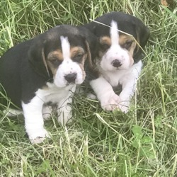 Lost dog on 24 Jun 2019 in Tallow (Kilwatermoy). TWO BEAGLE PUPPIES WENT MISSING FROM A LITTER OF 5 NOT SURE IF THEY ARE LOST OR STOLEN