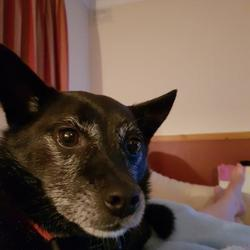 Lost dog on 25 Aug 2019 in kildare and laois.  Lost Jack Russell Cross called Ben. Last seen in Cardtown Woods ,Camross co Laois 26th of August. From Nurney Co Kildare so will be completely lost . Nervous of people . 5 years old but very grey and looks older. Beloved family pet .  087 12 65 235