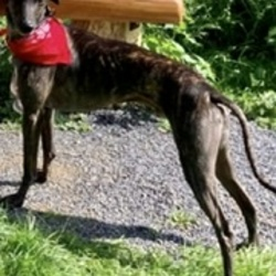 Lost dog on 25 Aug 2021 in Mullingar . An adopted rescue lurcher  gone missing in Mullingar. Microchipped, neutered and distinctive. Shiny dark brindle coat with a white marking on chest. Missing since 25th Aug. Very nervous dog. His collar and lead found.