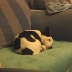 Lost dog on 25 Dec 2017 in Castletown Celbridge. Black and white jack russell collie cross dog lost in castletown celbridge on 25 December 2017. Answers to Mazy.