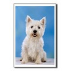 Lost dog on 25 Feb 2010 in landsdown rd. white female west highland terrier 4yr old. lost in the landsdown road area.