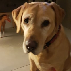 Lost dog on 25 Feb 2019 in Boroimhe swords co dublin. Brandy got of her lead at 10.45 tonight,in Boroimhe Beech Swords .We are frantic with worry.If you find her please keep her safe and warm and call me on 085 8721419. She's almost 11 and had a stroke 3 weeks ago, so she is a bit disoriented at the moment. She is a beautiful affectionate old Lady 
