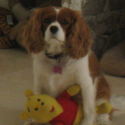Lost dog on 25 Mar 2010 in Eglington Road , Clonskeagh Road  approx 1pm . 5 year old  female cavalier king charles , brown and white , had faded tartan collar  - substantial reward offered