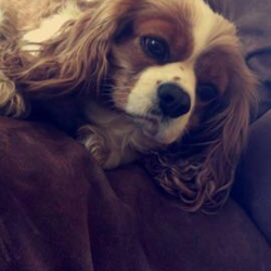 Lost dog on 25 May 2019 in Wicklow. MISSING REWARD For the return or information leading to the location and safe return of our much loved Amber, female NEUTERED and MICRO CHIPPED, King Charles Cavalier who went missing on Sat 25/05 at approx 4pm from just off the Killacloran Road, Aughrim, Wicklow. PLEASE SHARE THIS POST to help us find her and to bring her back to her son bear who is so sad his mam is gone. She means the world to us. CALL GER 087 673 4664