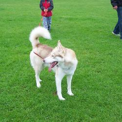 Lost dog on 25 Oct 2009 in Athlone county Westmeath. 2 year old Siberian Husky missing,much loved pet please contact me if you find him tel.0857376176