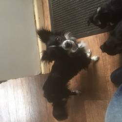 Lost dog on 25 Oct 2017 in Castleknock . Black with white on chest. Has a half right ear. Last seen on the postertown road, by Castleknock hotel. Small bitch