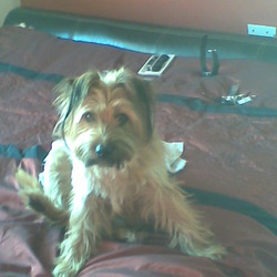 Lost dog on 25 Sep 2009 in Laois. male cross terrier,went missing in abbeyleix co.laois,answers to the name bruno,2 years old,tan in colour,black tips on ears,red shock bark collar,extremely friendly,brown eyes,dearly loved by my daughters*****REWARD GIVEN***** 0857693283