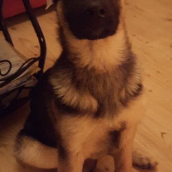 Lost dog on 26 Dec 2018 in Loughglynn, castlerea, co. Roscommon. 5(now 6)month old male German shepherd pup stolen from loughglynn, castlerea, co. Roscommon area since st.stephens night. Black and tan in colour. Microchiped and registered in my name.