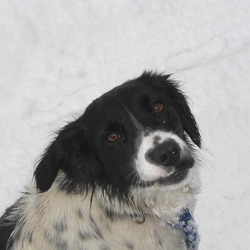Reunited dog 26 Jan 2010 in Ballyteague, Co. Kildare. Female Springer Spaniel - black and white in colour - 10months old medium size - very friendly - stolen from Ballyteague area Co. Kildare - wearing collar