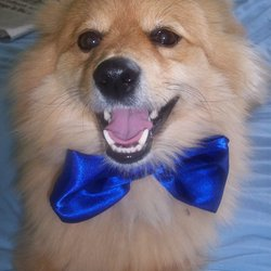 Lost dog on 26 Mar 2010 in Co. Donegal. Teeko has been missing since Friday evening 26th March from Killygordon, Co. Donegal, he was wearing a blue collar, he's a mixture of Pomeranian and Terrier, Teeko has been neutered and is 3 years of age. He's a light rust colour.  Reward offered for his safe return. Telephone: 087-2139023 From NI: 00353 87 2139023  Please Please help me find Teeko