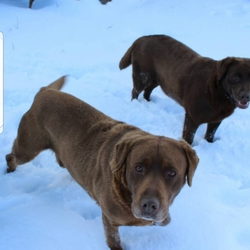 Lost dog on 26 Mar 2019 in Laois. Chocolate Lab Freddie missing from Laois (Portlaoise area) since March 11th. Not chipped. Approx 6yrs old. Please contact 085 1506848