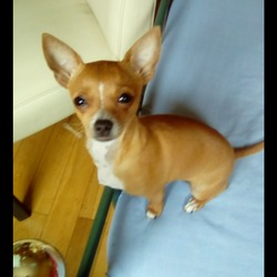 Lost dog on 26 Sep 2017 in Killarney,Co. Kerry. Our little Chihuahua is missing. Felame,golden brown. She is missing from Tullorum,Spa,Killarney. She is microchiped,around1,5,year old. Please if anyone found her or have any info about her what tould help to locate her please call 0862194871