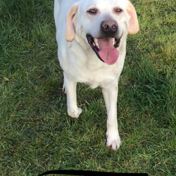 Lost dog on 27 Apr 2018 in Athboy. Two labs missing athboy black female and cream male today at 630 hill of ward