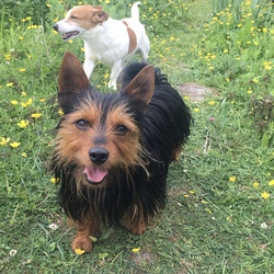 Lost dog on 27 Aug 2021 in Athenry , rockfield. Teddy is a Yorkshire terrier.Male 6 years old.He went missing from outside the house in Rockfield Athenry yesterday morning between 10.30/11 am.