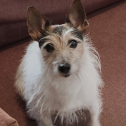 Lost dog on 27 Aug 2021 in wicklow. lost.  Dogs Trust Ireland Lost & Found Dogs ....She was seen in Rathdrum Co Wicklow area Wednesday 18 august around 6pm. She is a 10 year old jack/terrier microchipped (updated)  and neutered. Black and tan head all white body and tail. Responds to the name Sandwich or (Damo) . I've looked absolutely everywhere, posters up and hundreds of FB repost from such lovely caring people. I'm guessing she was picked up, either stolen or by someone who hasn't had the chance to drop her into the nearest vet or pound. But it's been a week now and I am worried sick.  If anyone saw anything suspicious on that day please get in contact on 0879317194. She is my everything.
