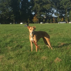 Lost dog on 27 Jan 2018 in Cabra Dublin 7. Female Lurcher/Staff cross named Juno, fawn in colour. Aged 4.5 and around 20KGs in weight wearing a green collar.