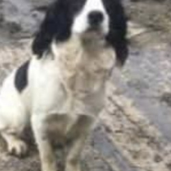 Lost dog on 27 Jul 2020 in west Clare. lost...Munster lost and found pet helpline