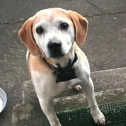 Lost dog on 27 Jun 2020 in Ashbourne. Answers to Lucy, lost in Ashbourne area