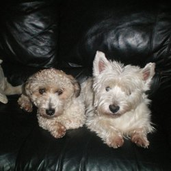 Lost dog on 27 Mar 2010 in gweedore co. donegal. two dogs missing from gweedore co. donegal went missing on the 24 th of march a westhighland terrier and a small brown terrier.. westhighland is 6 years old and the other dogs 1 and a half.. if u have any info please contact 0872926129(REWARD)if found