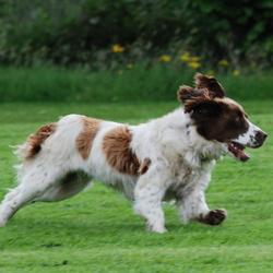 Lost dog on 27 Mar 2010 in kildallon/killeshandra Co Cavan. 3 yr old springer spaniel bitch spayed microchiped