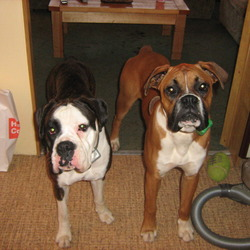 Lost dog on 27 Nov 0009 in Co.Wicklow. Can you please help me my 2 boxer dogs were stolen from my house on the 27th of November 09 in Co.Wicklow. Jess is a female and she is 3 and half years old she is brindle and white has very distinctive marking. She is a very friendly dog and will go to anyone which is probably her down fall she also loves traveling in the car and would be quite happy to jump in if she was asked.  She is also neutered. Jacko is a male and he is a 2 years old he is red with a white chest and black mask Jacko can be friendly but only to people he is familiar with,  he is quite shy and afraid of any strange people he doesn't know. He has a heart condition and needs daily medication. Both dogs are also micro - chipped and are registered with The Irish Kennel club. We would greatly appreciate it if anyone can come forward with any in formation they would have. We are extremely worried about them and the possibility that they might be separated , we very anxious to have them back .  Anyone with any information on there whereabouts or sighting please contact 087 2985252/ 0876964076 REWARD offered for their return
