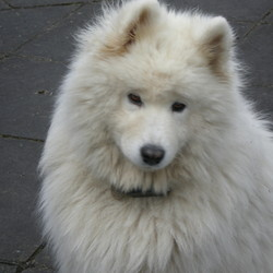 Reunited dog 27 Nov 2009 in Drumelis Cavan. White Samoyed Husky...6 year old female..very freindly..wearing a collar and also an black electric box on collar..Lost in Drumelis area Cavan ...Please tel 086-2581185
