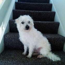 Lost dog on 28 Apr 2020 in Mulhuddart, Dublin 15. Lost Male Dog.
