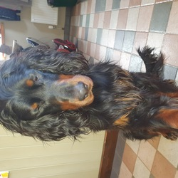 Reunited dog 30 Apr 2021 in clare. UPDATE: happily reunited 30 April 2021. 